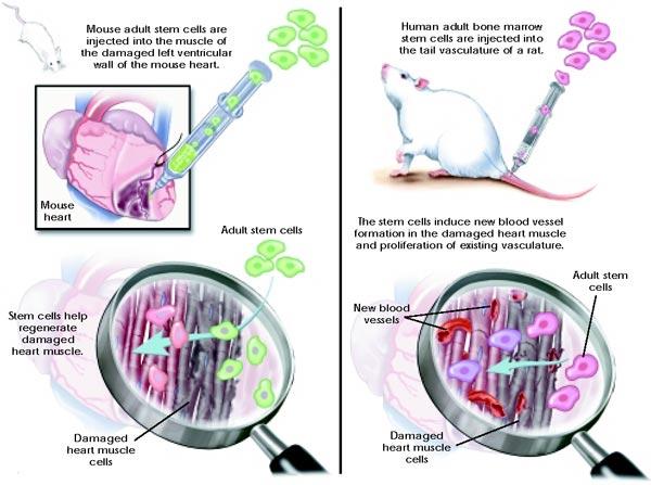 K 246 K H 252 Cre Stem Cell ⋆ Bilgiustam