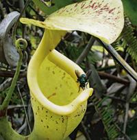 Etobur bitkiler hangi şartlarda yaşarlar neden böcek tüketmek