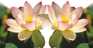 635-lotus
