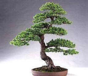 1014-bonsai1