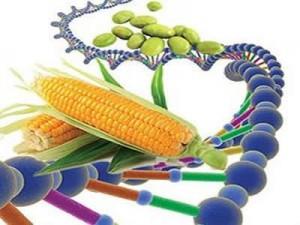 Gdonungenetiği Değiştirilmiş Organizma Yararları Ve Zararları