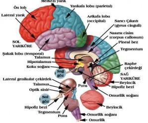 1350-anatomi