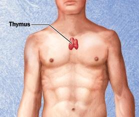 1524-r7_thymus.