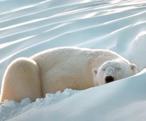 2014-polar_bear_2