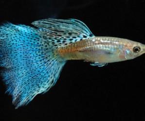 balık2