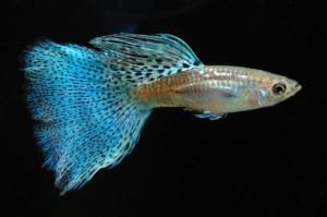 Lepistes cinsi balık yetiştiriciliği