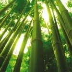 çin bambu