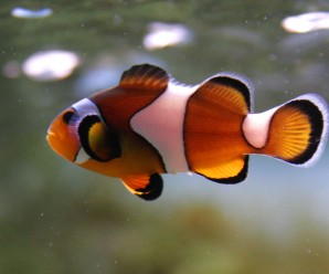 3479_clown_fish