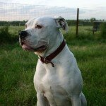 4221_bulldog