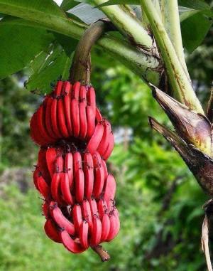 4726_red_banana