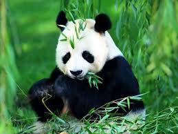 4764_panda
