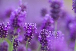 4974_lavender-blossoms