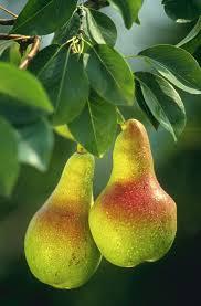5031_pears