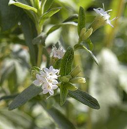 5114_260px-stevia_rebaudiana_flowers