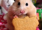 5367_suriye-hamster-resim