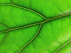 gunes-enerjisi-fotosentez-yaprak