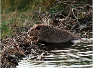 5580_web_beaver_defenders_of_wildlife