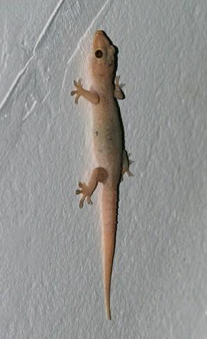 5598_hemidactylus-frenatus-1