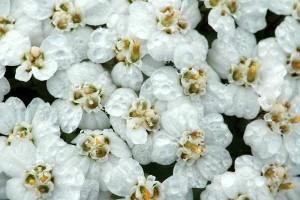 5656_achillea.millefolium