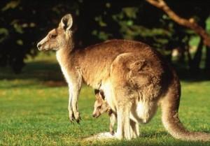 memeli-hayvan-kanguru
