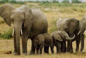 5697_elephants