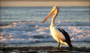 5697_pelican