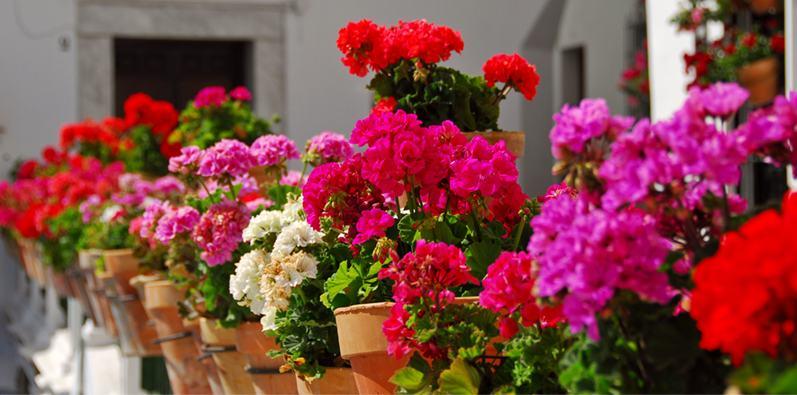 Bitki sardunyası ve popüler çiçek türlerinin vatanı