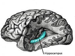 6149_hipokampus