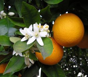 6213_orangebloss_wb