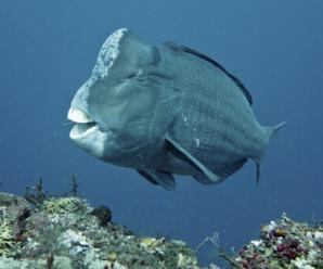 6387_blue_parrotfish_(mavi_papagan_baligi)