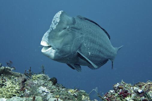 6387_blue_parrotfish_(mavi_papagan_baligi)