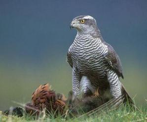 Goshawk (Accipiter gentilis) adult feeding on pheasant. Scotland. (captive-bred).
