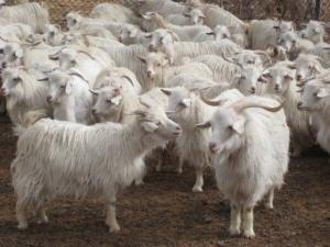 cashmere-goats-in-upshi