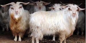page_kasmir-ticareti-nesli-tukenmekte-olan-hayvanlari-tehdit-ediyor_883738890