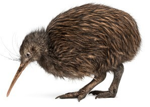 8383_300-526637149-flightless-kiwi