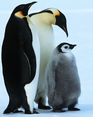 8383_300-82634149-flightless-penguin