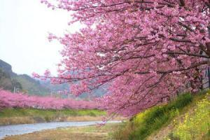 8391_450-148406253-tokyo-cherry-blossom