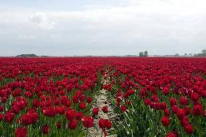 8391_450-149076660-haarlem-red-tulips