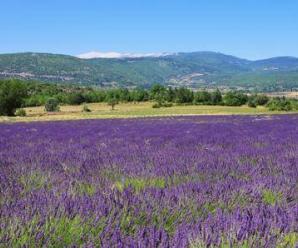 8391_450-162444856-provence-lavender