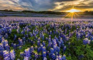 8391_450-483635634-texas-bluebonnets