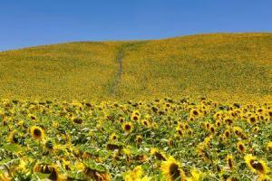 8391_450-92312393-tuscany-sunflowers