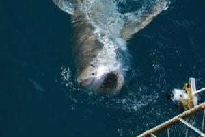 8392_450-151558205-white-shark