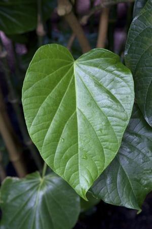 8451_300-26368663-kava-leaf