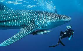 8507_whale_shark