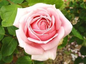 Beyaz güller: Geçmişte ve bugünün anlamı