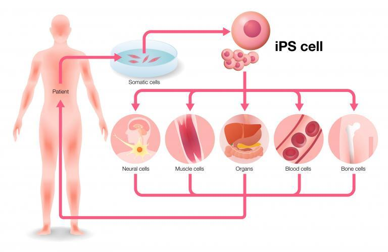 ips cells What are induced pluripotent stem cells are adult cells that have been genetically reprogrammed to an embryonic stem cell–like state by being forced to.