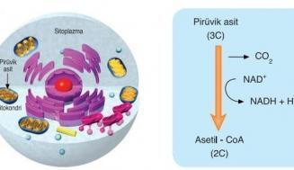 Mitokondriyal İşaretleyiciler (Krebs Döngüsü Metabolitleri)