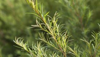 Çay Ağacı Yağı, Faydaları, Kullanım Alanları ve Yan Etkileri