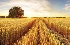 Tarımda Bitki Yararlı Mikroorganizmaların Uygulamaları ve Kısıtlamaları