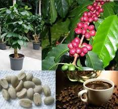 Factors Affecting the Formation of Somatic Embryogenesis in Coffee